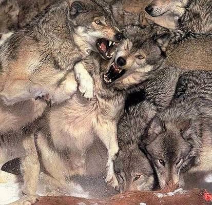 動物同士の戦い 熱いファイト画像!! (13)