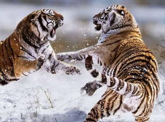 動物同士の戦い 熱いファイト画像!! (15)