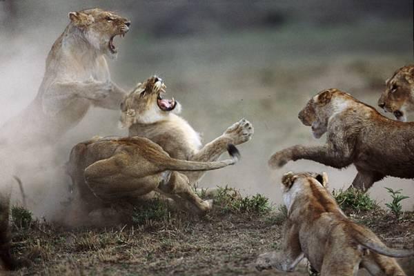 動物同士の戦い 熱いファイト画像!! (24)