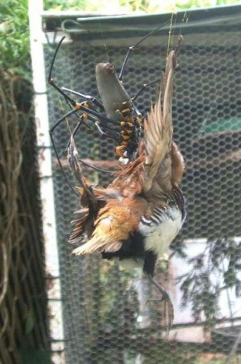 鳥を捕食する蜘蛛