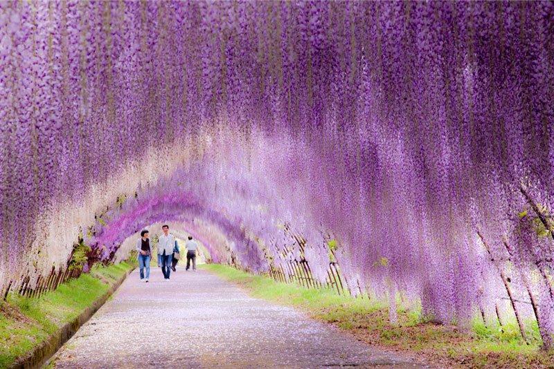 河内藤園の藤の花トンネルが美しい (10)