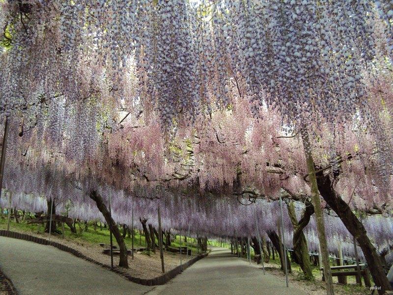 河内藤園の藤の花トンネルが美しい (11)