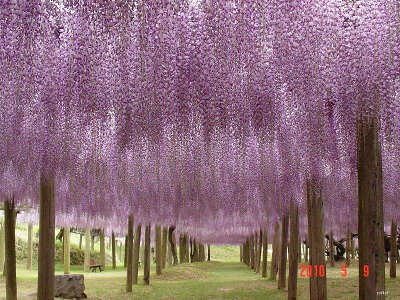 河内藤園の藤の花トンネルが美しい (12)