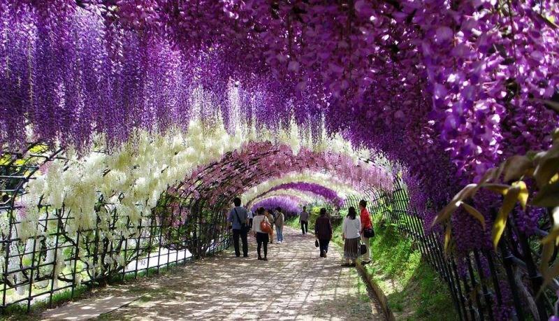 河内藤園の藤の花トンネルが美しい (2)