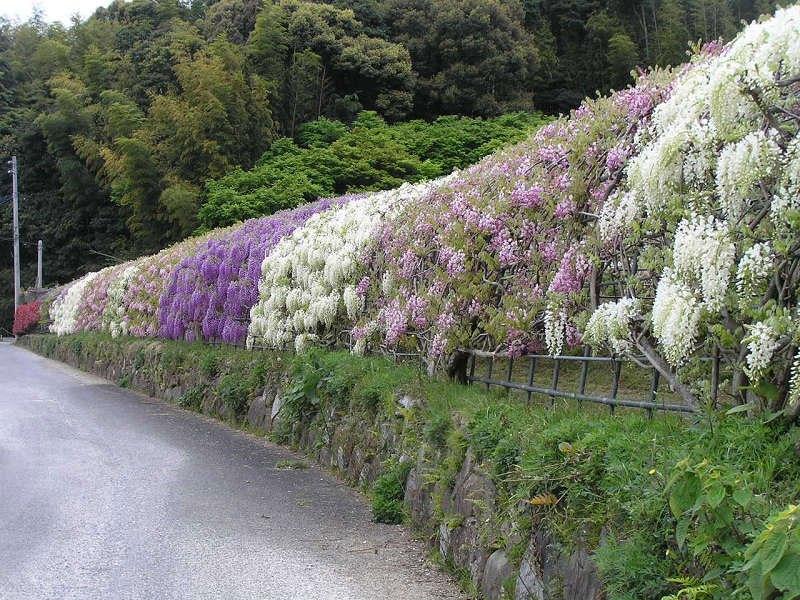 河内藤園の藤の花トンネルが美しい (4)