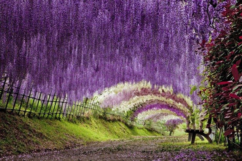 河内藤園の藤の花トンネルが美しい (5)