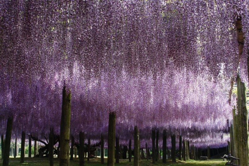 河内藤園の藤の花トンネルが美しい (6)