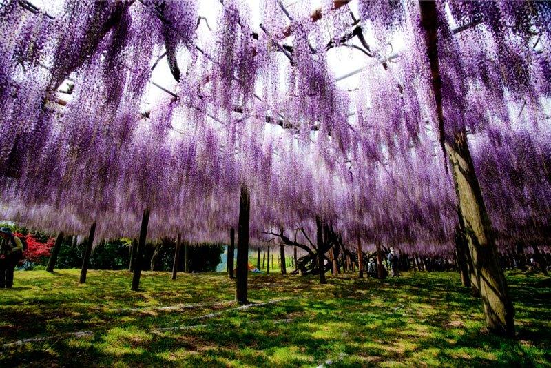 河内藤園の藤の花トンネルが美しい (8)