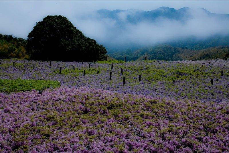 河内藤園の藤の花トンネルが美しい (9)