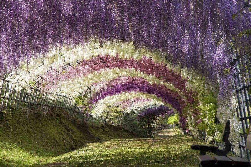 河内藤園の藤の花トンネルが美しい