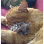 猫とハリネズミの赤ちゃんの仲良し画像